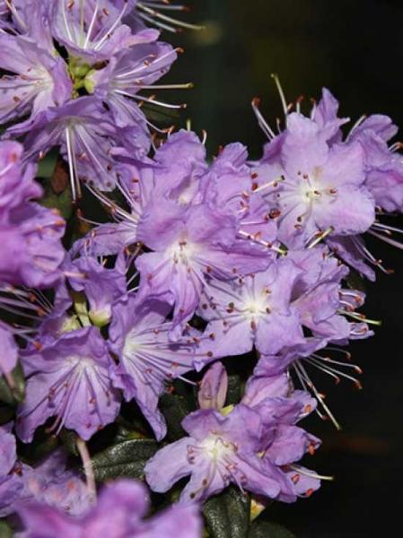 Rhododendron impeditum 'Blumiria' / Zwerg-Rhododendron 'Blumiria'