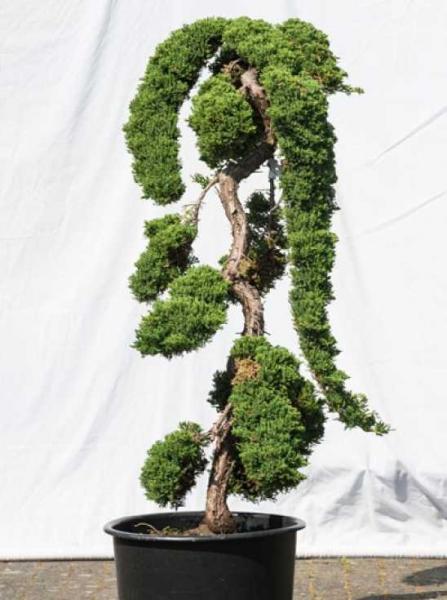 Juniperus procumbens 'Nana' H: 140 cm B: 110 cm / Garten-Bonsai (518)