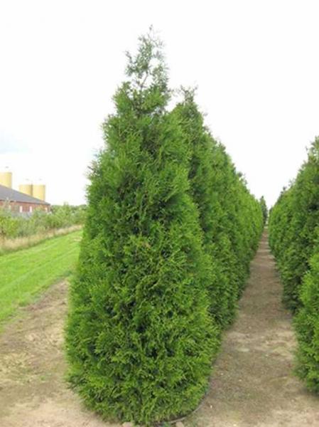 Thuja plicata 'Atrovirens' / Riesen-Lebensbaum 'Atrovirens'