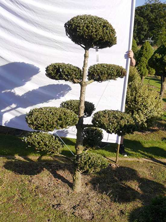 bonsai f r den garten gartenbonsai 1501 2500 g nstig in top baumschulqualit t kaufen. Black Bedroom Furniture Sets. Home Design Ideas