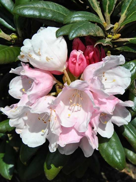 Rhododendron yakushimanum 'Yaku Angel' / Rhododendron 'Yaku Angel'
