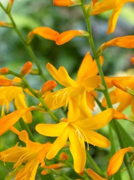 Crocosmia crocosmiiflora 'George Davidson' / Garten-Monbretie