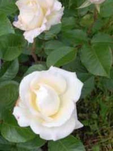 Rosa 'True Love' / Stammrose 'True Love'