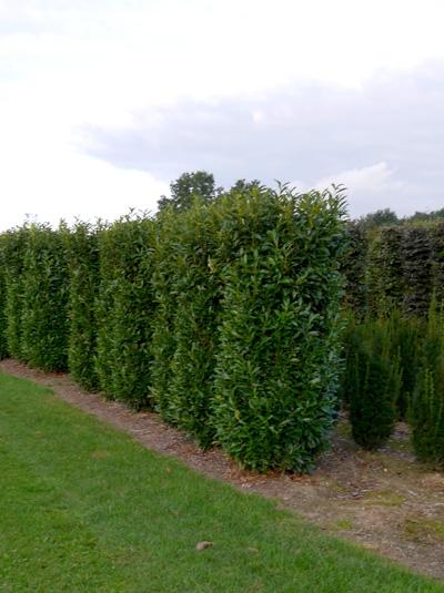 Prunus laurocerasus 'Herbergii' / Kirschlorbeer 'Herbergii' 200-250 cm Solitär mit Drahtballierung