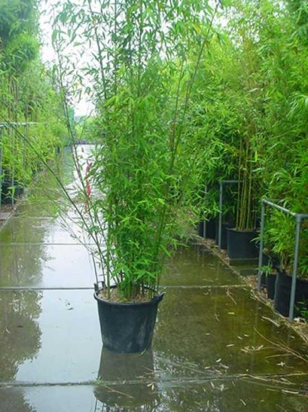 Phyllostachys aurea / Knoten-Bambus 250-300 cm im 50-Liter Container