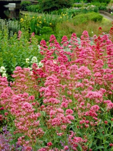 Centranthus ruber 'Coccineus' / Spornblume
