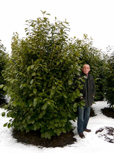 Prunus laurocerasus 'Rotundifolia' / Kirschlorbeer 'Rotundifolia' 250-300 cm Solitär mit Drahtballierung