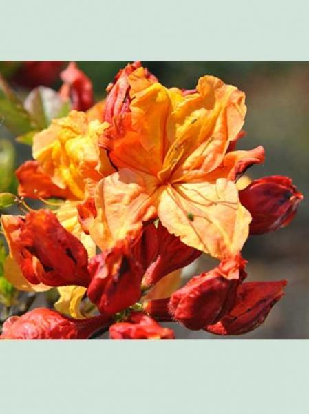 Azalea luteum 'Sunte Nectarine' (Knap-Hill) / Laubabwerfende Azalee 'Sunte Nectarine'