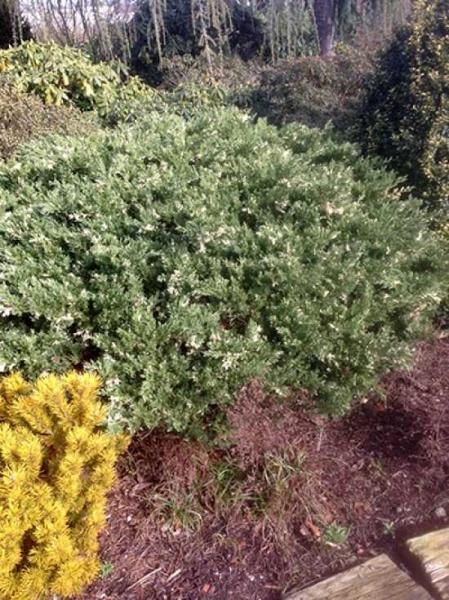Juniperus chinensis 'Expansa Variegata' / Chinesischer Wacholder 'Expansa Variegata'