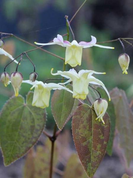 Epimedium 'Flowers of Sulphur®' / Elfenblume