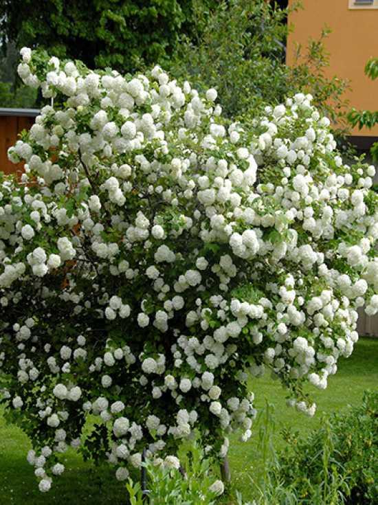 Viburnum Opulus Roseum Gefüllter Schneeball Roseum Günstig Kaufen