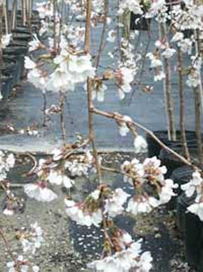 Prunus yedoensis 'Shidare-yoshino' Stämmchen / Hänge-Tokyo-Kirsche 'Shidare-yoshino'