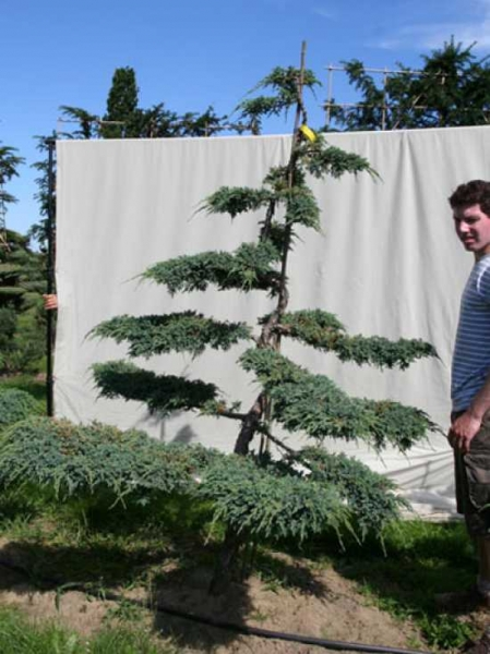 Juniperus squamata 'Blue Carpet' H: 240 cm B: 170 cm / Garten-Bonsai (306117)