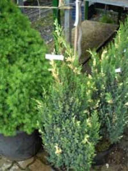Juniperus chinensis 'Stricta Variegata' / weißbunter Kegel-Wacholder / weißbunter chinenischer Wacholder