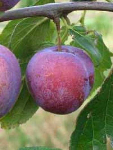 Prunus domestica 'Excalibur' / Pflaume 'Excalibur'