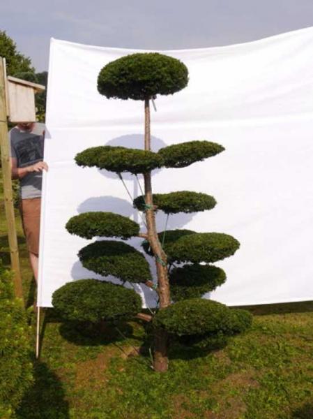 Taxus media 'Hillii' H: 210 cm B: 120 cm / Garten-Bonsai (0012)