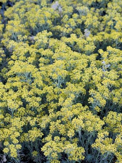 Alyssum serpyllifolium / Kleinblättriges Steinkraut
