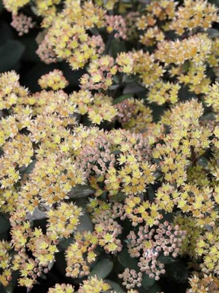 Sedum telephium ssp. ruprechtii 'Hab Grey' / Hohes Fettblatt 'Hab Grey' / Hohe Fetthenne 'Hab Grey'
