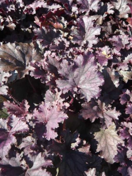 Heuchera Hybride 'Frosted Violet' / Purpurglöckchen