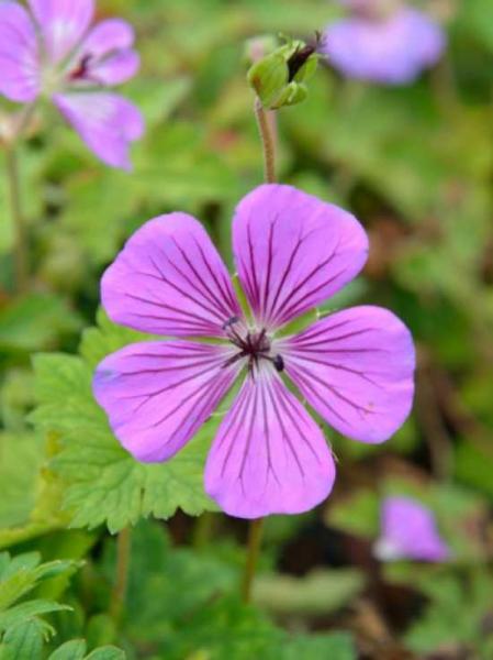 Geranium wallichianum 'Sweet Heidy ®' / Garten-Storchschnabel