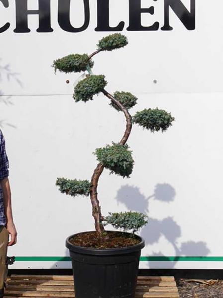 Juniperus chinensis 'Blue Alps' H: 100-125 cm / Garten-Bonsai (2507)