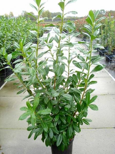 Favorit Prunus laurocerasus 'Novita' / Kirschlorbeer 'Novita' 125-150 cm DF41