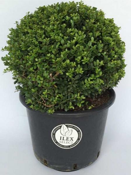 Ilex crenata 'Dark Green' Kugel / Buchsblättrige Japanische Hülse 'Dark Green' Kugel 45-50 cm Container