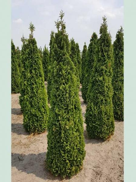 Thuja occidentalis 'Degroot's Spire' / Lebensbaum 'Degroot's Spire'