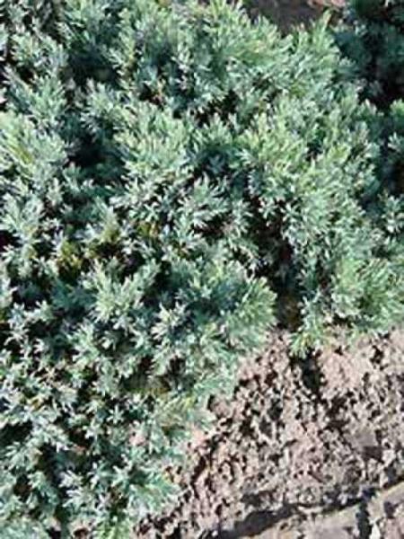 Juniperus squamata 'Blue Star' / Zwerg-Wacholder 'Blue Star'