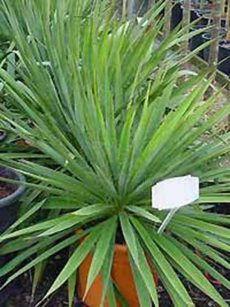 Yucca filamentosa / Fädige Palmlilie