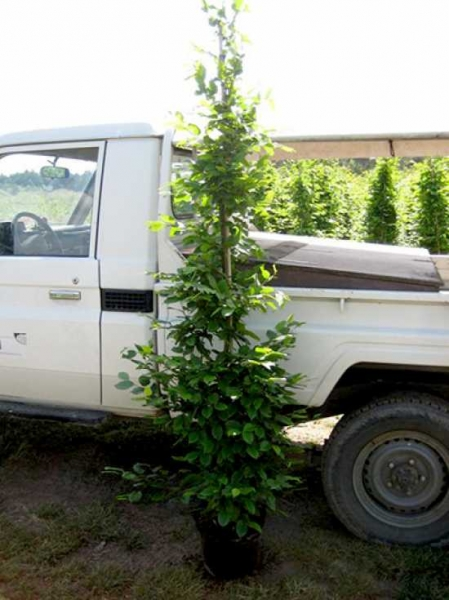 Carpinus betulus / Hainbuche 200-225 cm im 12-Liter Container