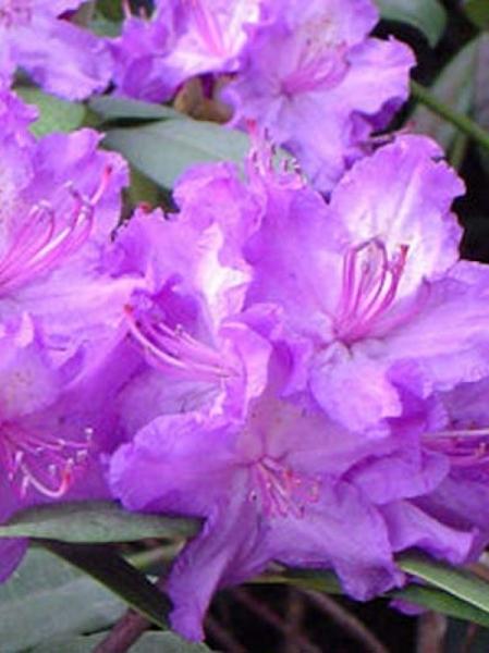 Rhododendron Hybride 'Everestianum' / Rhododendron 'Everestianum'