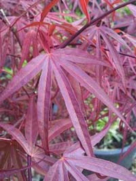 Acer palmatum 'Atrolineare' / Fächer-Ahorn 'Atrolineare' / Japanischer Ahorn