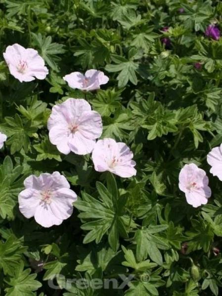 Geranium sanguineum 'Apfelblüte' / Blut-Storchschnabel