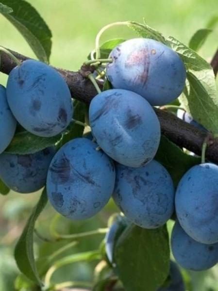 Prunus domestica 'Voyageur' / Pflaume 'Voyageur'