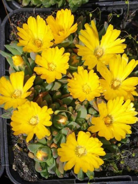 Delosperma congestum '(Golden Nugget)' / Mittagsblume