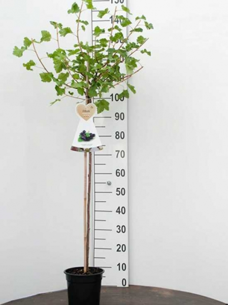 Ribes nigrum 'Jostabes' / Schwarze Johannisbeere 'Jostabes'