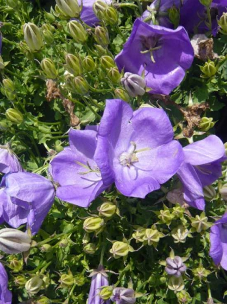 Campanula carpatica 'Blaue Clips' / Niedrige Garten-Glockenblume