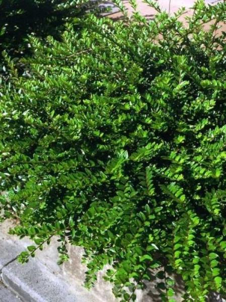 Lonicera pileata 'Moss Green' / Böschungsmyrte 'Moss Green'