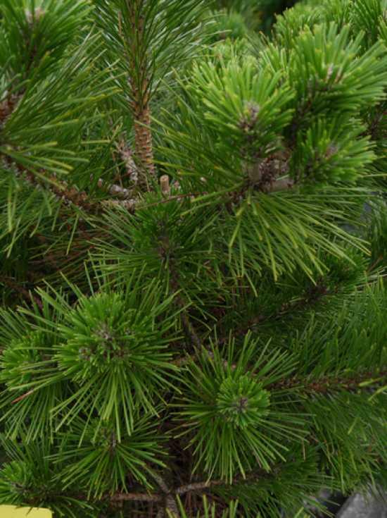 niedrig seltene Rotkiefern-Sorte buschig Pinus densifllora JANE KLUIS dicht