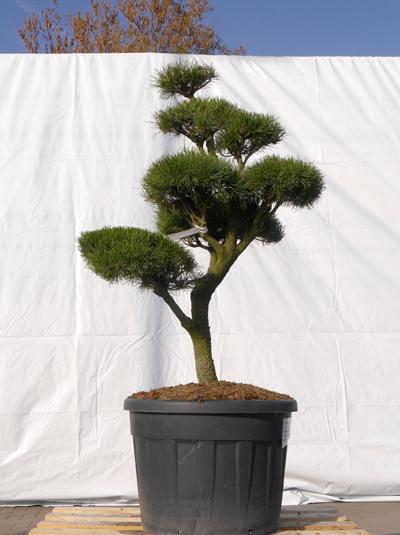 pinus contorta h 130 cm b 90 cm garten bonsai 3072 g nstig kaufen. Black Bedroom Furniture Sets. Home Design Ideas
