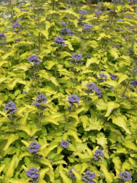 Caryopteris clandonensis 'Hint of Gold' / Bartblume 'Hint of Gold'