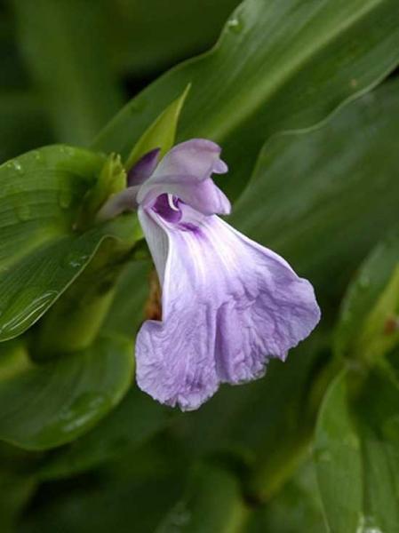 Roscoea purpurea / Purpur-Scheinorchidee / Ingwerorchidee
