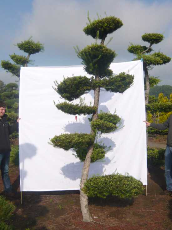 larix kaempferi h 250 300 cm garten bonsai 17012 g nstig kaufen. Black Bedroom Furniture Sets. Home Design Ideas