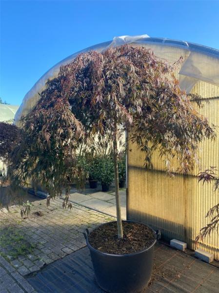 Acer palmatum 'Inaba shidare' Kronenbreite 175-200 cm (Nr.360) / Fächerahorn 'Inaba shidare' / Japanischer Ahorn Kronenbreite 175-200cm (Nr.360)