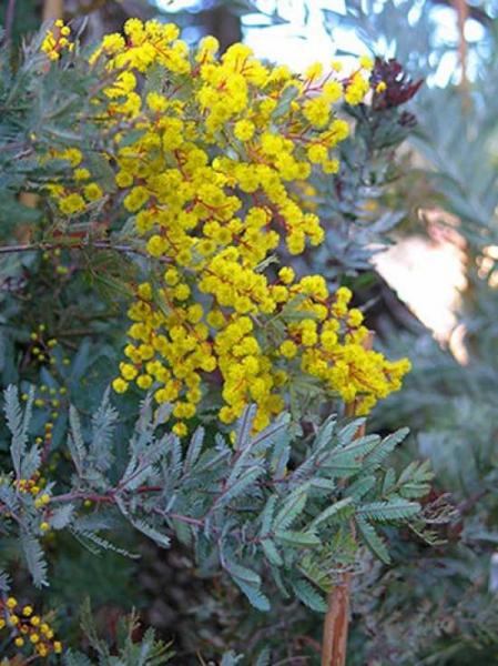 Acacia baileyana 'Purpurea' / Baileys Akazie 'Purpurea'