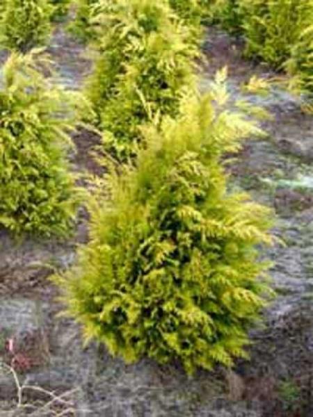 Thuja occidentalis 'Yellow Ribbon' / Lebensbaum 'Yellow Ribbon'