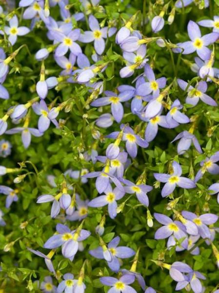Houstonia caerulea 'Millard's Variety' / Porzellansternchen