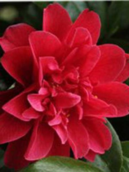 Camellia japonica 'John Tooby' / Japanische Kamelie 'John Tooby'