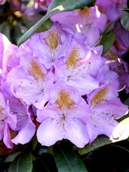 Rhododendron Hybride 'Blutopia' / Rhododendron 'Blutopia'
